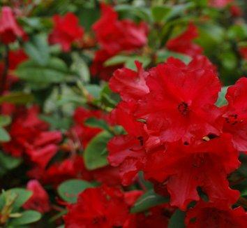 Rhododendron 'Scarlet Wonder' 1 flower