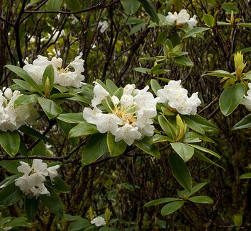 Rhododendron macrophyllum 'Albion Ridge'