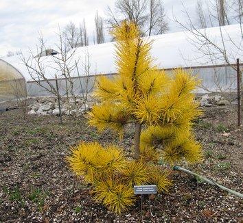 Pinus contorta var. latifolia 'Chief Joseph' 11