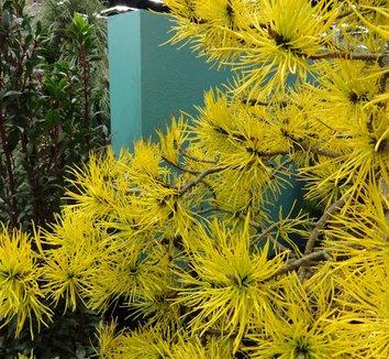 Pinus contorta var. latifolia 'Chief Joseph' 15