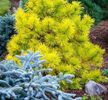 Pinus contorta var. latifolia 'Chief Joseph' 1 form, landscape