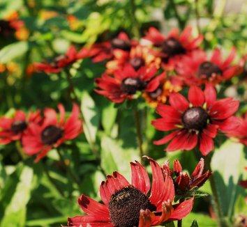 Rudbeckia hirta 'Cherry Brandy' 1 flower