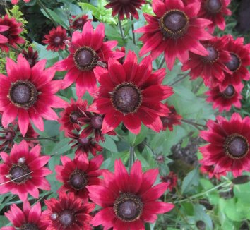 Rudbeckia hirta 'Cherry Brandy' 6 flower