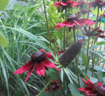Rudbeckia hirta 'Cherry Brandy' 7 flower