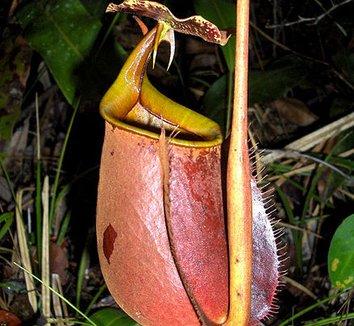 Nepenthes bicalcarata 2 flower