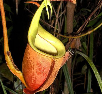 Nepenthes bicalcarata 1 flower
