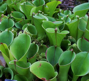 Heliamphora minor 3