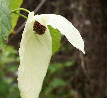 Davidia involucrata 7 flower