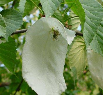 Davidia involucrata 14 flower