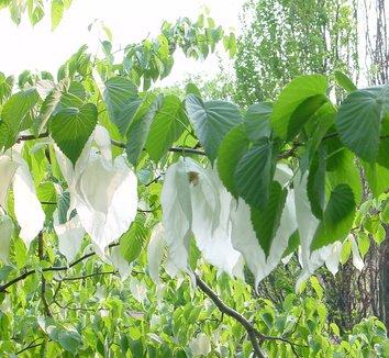 Davidia involucrata 13 flower