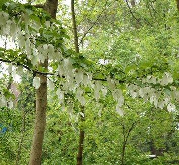 Davidia involucrata 17 flower