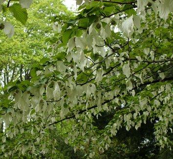 Davidia involucrata 20 flower