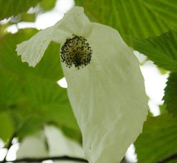 Davidia involucrata 23 flower
