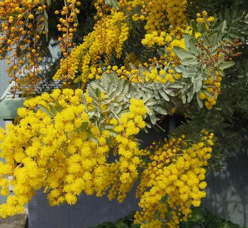 Acacia baileyana 1 flower
