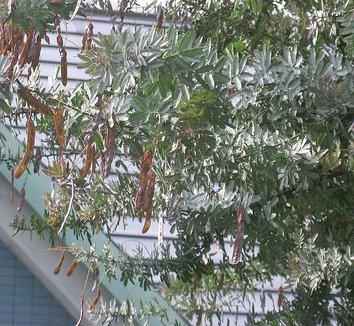 Acacia baileyana 5
