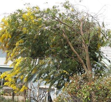 Acacia baileyana 2 form