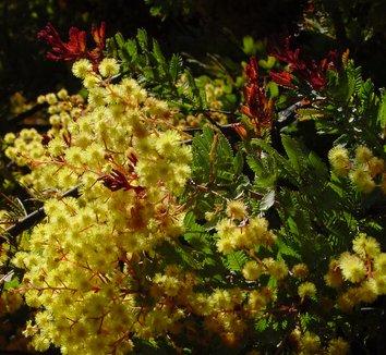 Acacia baileyana 7