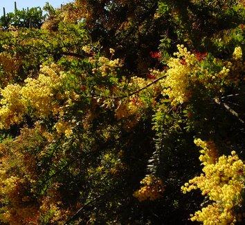 Acacia baileyana 8