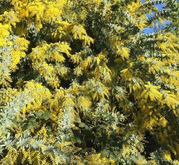 Acacia baileyana 9 flower