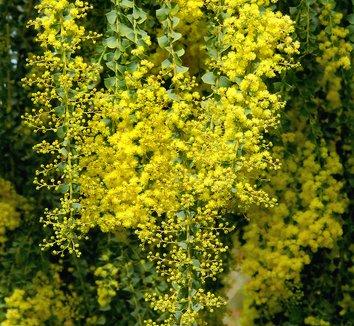 Acacia pravissima 3 flower
