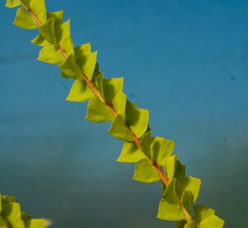 Acacia pravissima 5