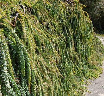 Acacia pravissima 7 form