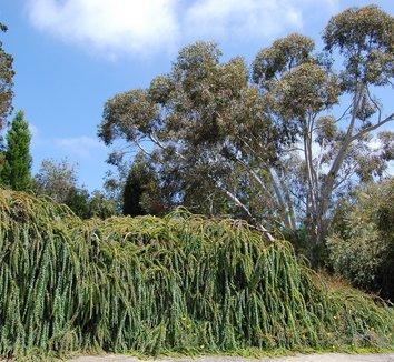 Acacia pravissima 6 form