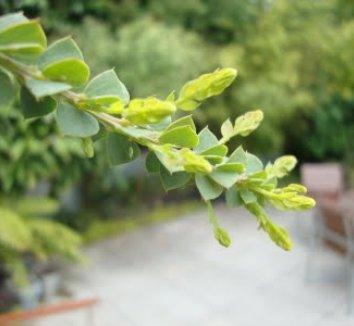 Acacia pravissima 18