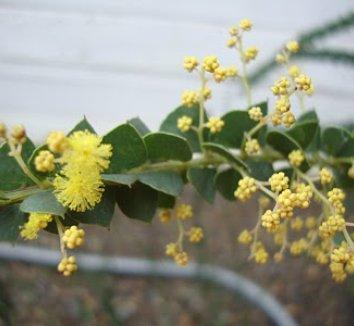 Acacia pravissima 14 flower