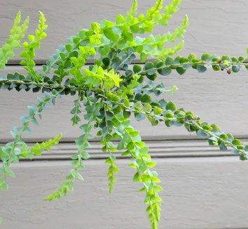 Acacia pravissima 22