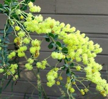 Acacia pravissima 24 flower
