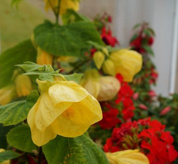 Abutilon 'Canary Bird' 3 flower