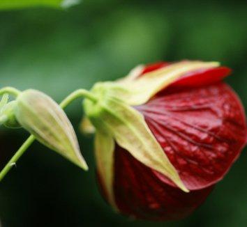 Abutilon x hybridum 'Voodoo' 5 flower