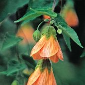Abutilon 'Bartley Schwarz'