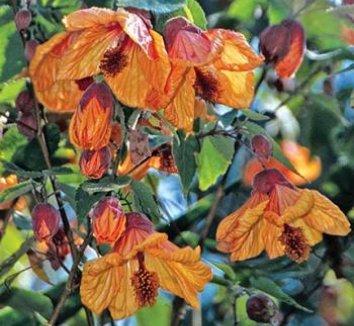 Abutilon 'Fool's Gold' 1 flower