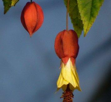 Abutilon megapotamicum 'Ines' 4 flower