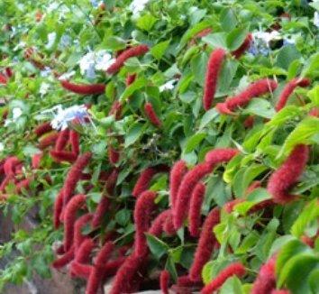 Acalypha pendula 8 flower