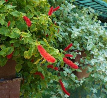 Acalypha pendula 10 flower