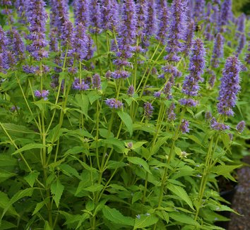 agastache 39 blue fortune 39 blue fortune giant hyssop blue fortune hummingbird mint plant lust. Black Bedroom Furniture Sets. Home Design Ideas