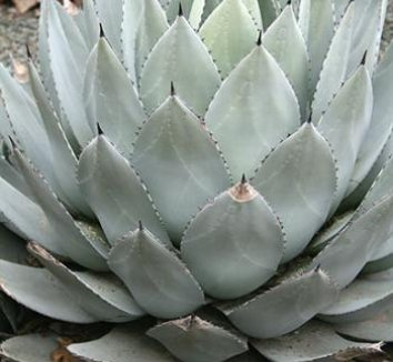 Agave parryi 'J.C. Raulston' 1