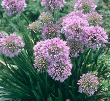 Allium 'Millennium' 3 flower