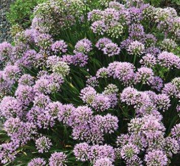 Allium 'Millennium' 1 flower