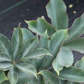 Amorphophallus atroviridis 'Pewterware'