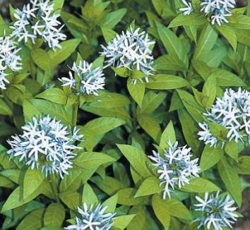 Amsonia montana 'Short Stack' 1 flower