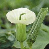 Arisaema candidissimum [White Flower Form]