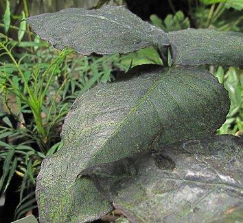Arisaema triphyllum 'Black Jack' 1