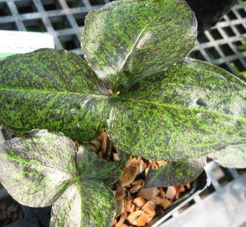 Arisaema triphyllum 'Black Jack' 5