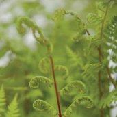 Athyrium filix-femina 'Lady in Red'