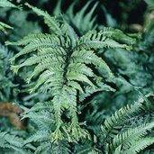 Anisocampium niponicum var. pictum 'Applecourt'