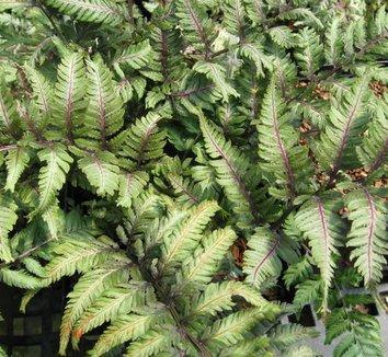 Anisocampium niponicum var. pictum 'Applecourt' 11